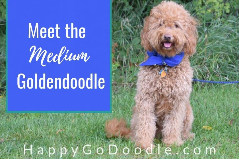 The Medium Goldendoodle A Complete Guide To These Cute Doods