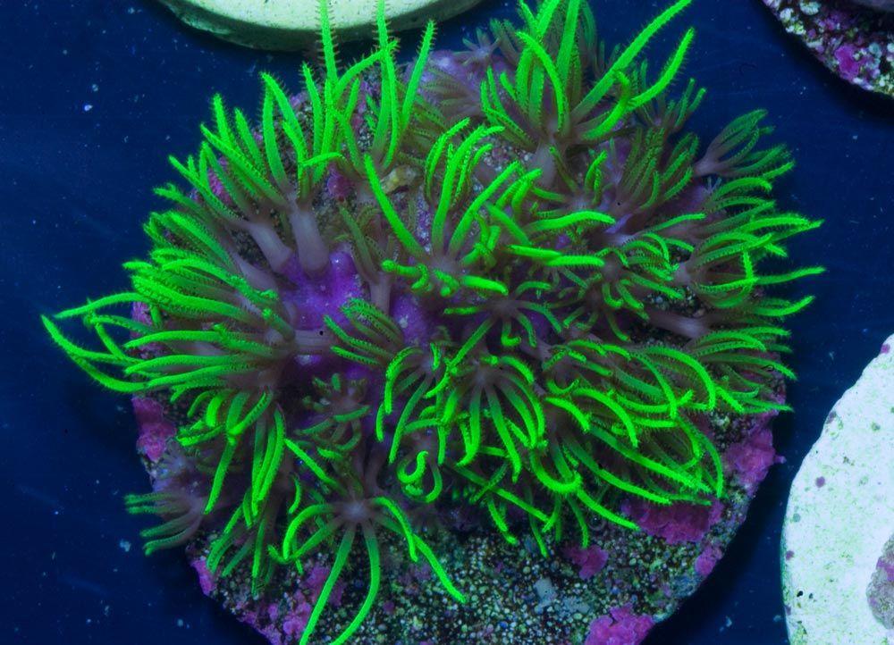 Rhs Ultra Green Star Polyps Polyp Coral Coral Reef Aquarium