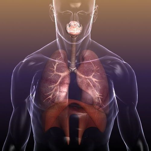 Male Respiratory System Lungs in a Human Body 3D Model ...