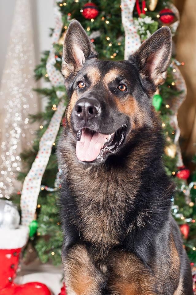 Maverick German Shepherd Dog Adult Male Large Border