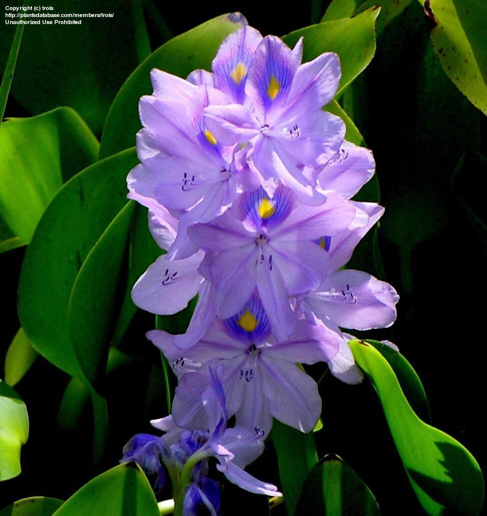 water hyacinths | PlantFiles: Picture #13 of Water Hyacinth (Eichhornia crassipes)