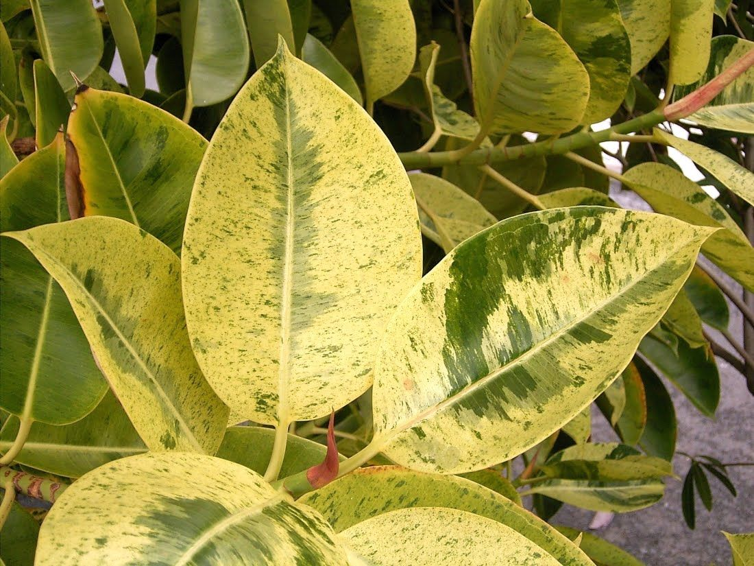 Free plant identification plant diseases ficus plant