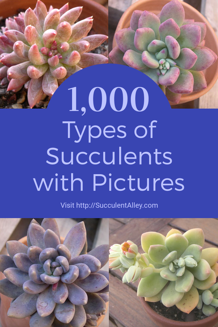 1,000 Types of Succulents with Pictures