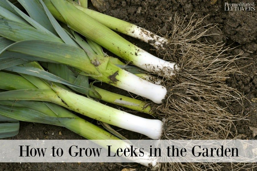 Ever thought about growing your own leeks? Fresh leeks can