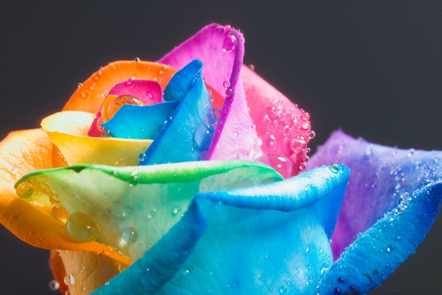 Show Colors Of The Rainbow Absorbs The Water Into Its Petals