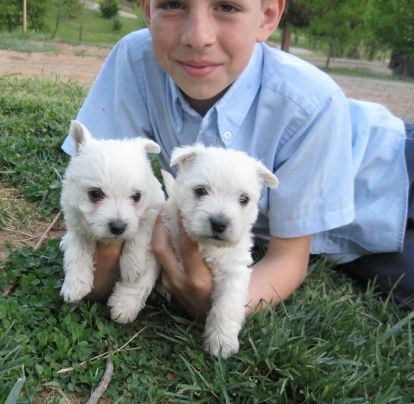 Puppies for sale West Highland White Terrier (Westie