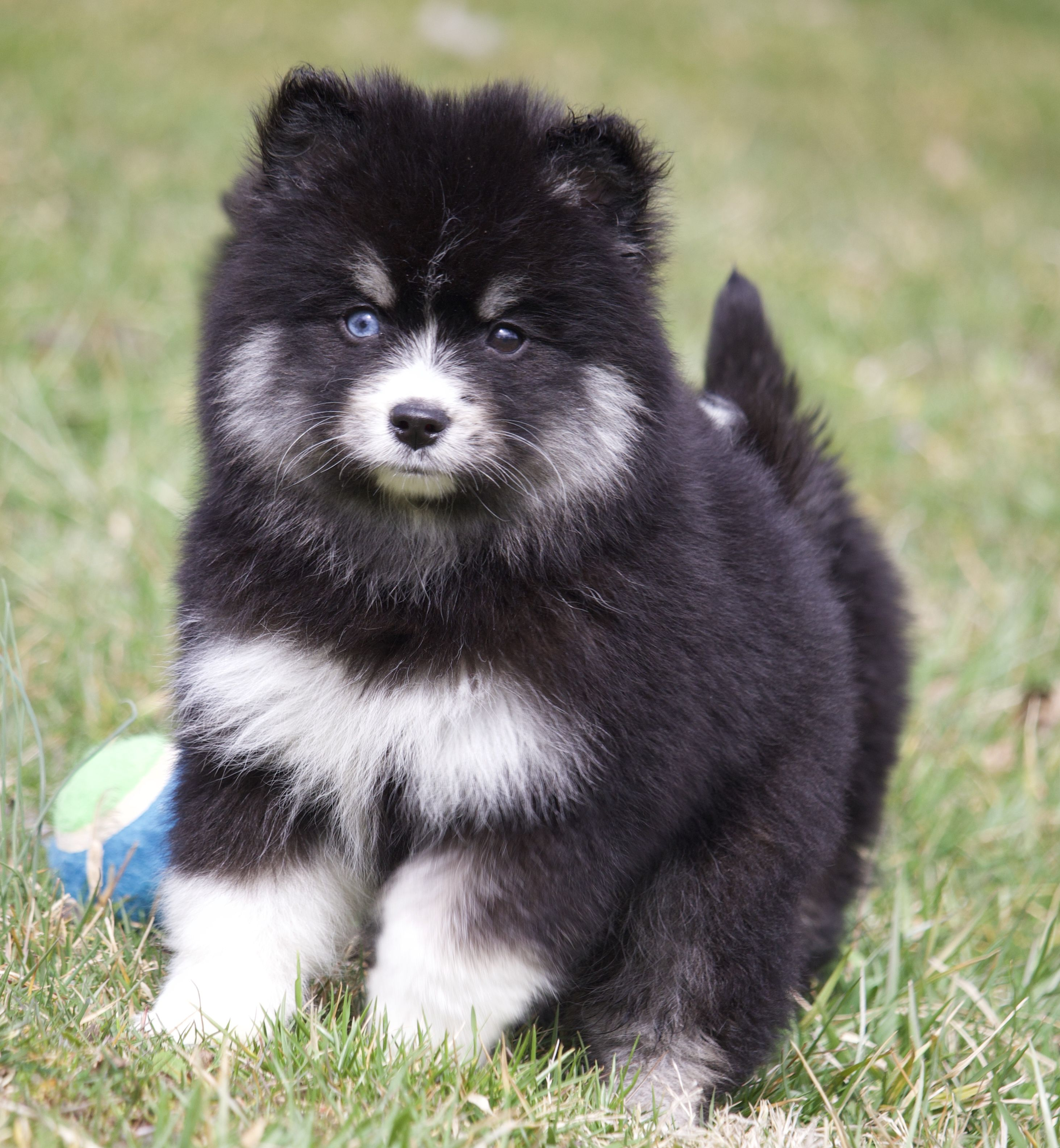 Cutenessoverload Super Cute Pomsky Puppies Are Energetic And Playful Dogs That Love To Romp And Play Fetc In 2020 Pomsky Puppies Cute Baby Animals Puppies