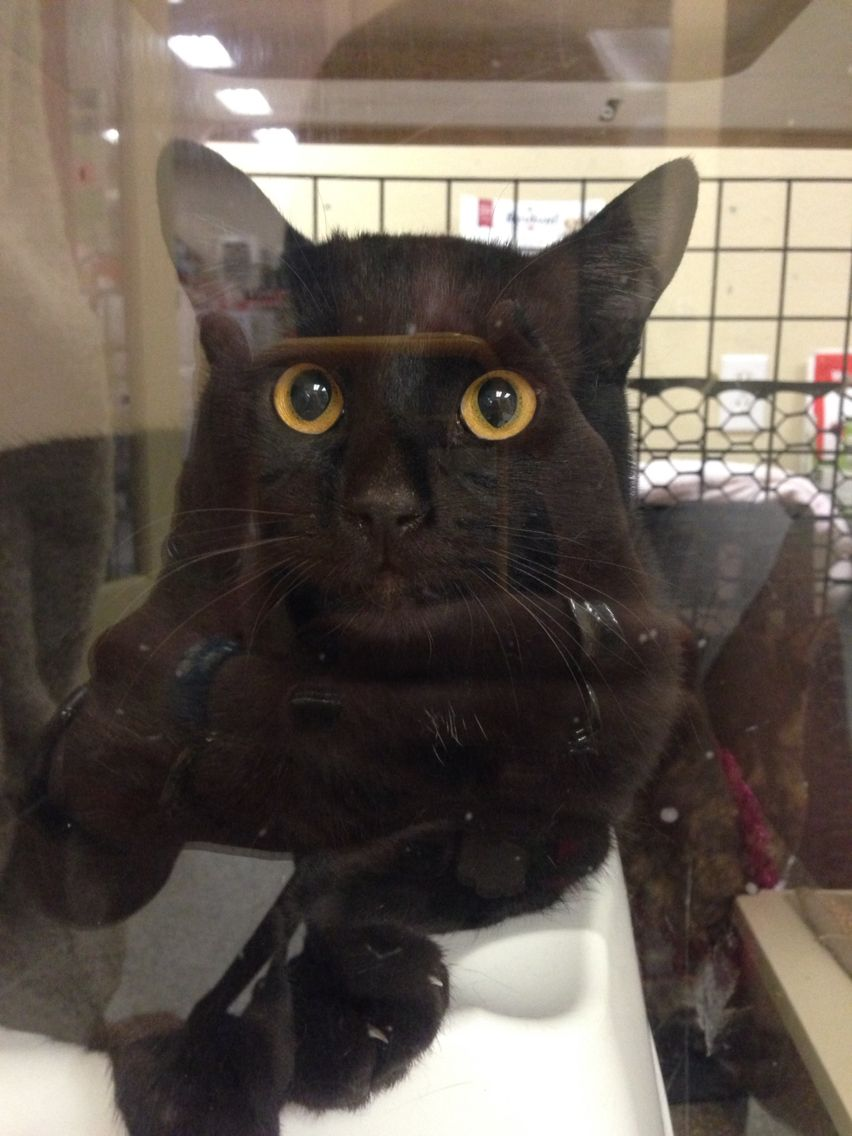 Cat Up For Adoption At Petco In Oceanside Coolest Eyes Feline Cool Eyes Petco