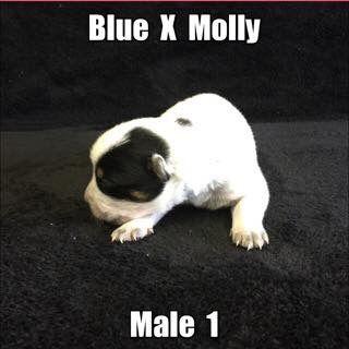 Litter Of 4 Australian Cattle Dog Puppies For Sale In Jefferson Sc Adn 43499 On Puppyfinder Com Gender Mal Puppies For Sale Cattle Dog Australian Cattle Dog