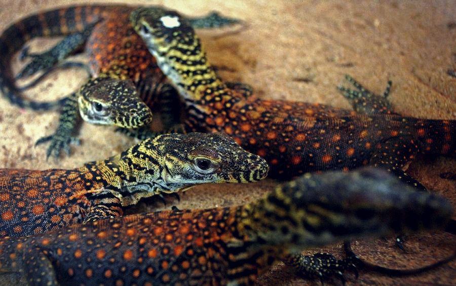 Komodo Dragon Hatchling