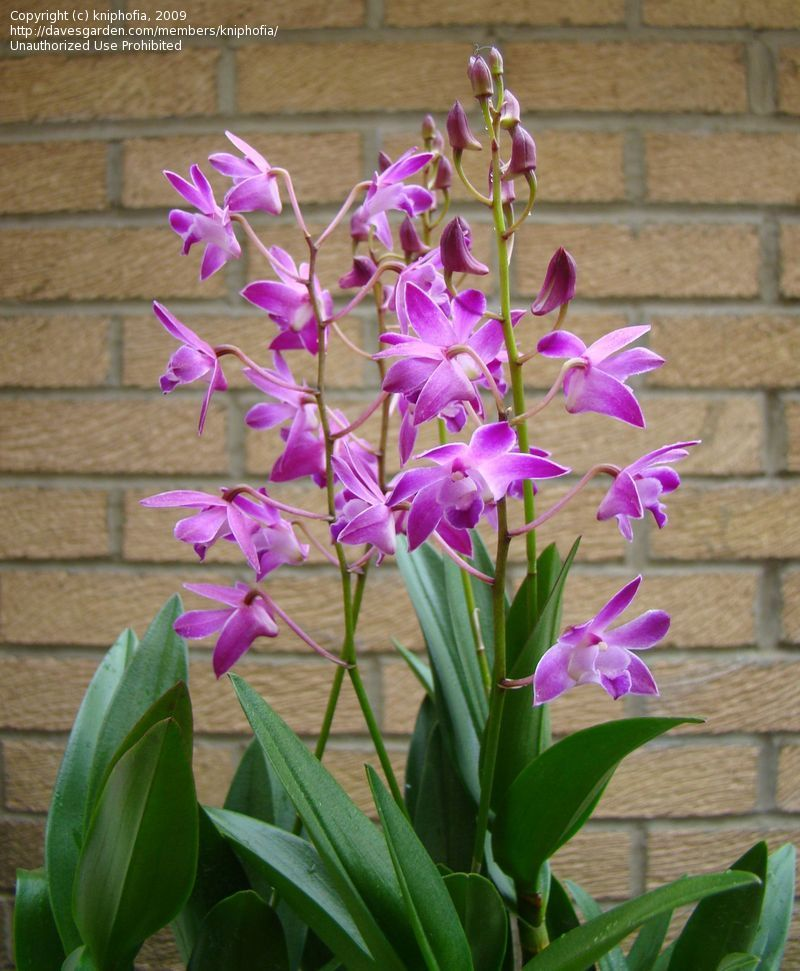 Plantfiles Pictures Orchid Pink Rock Orchid Dendrobium Berry Oda Dendrobium Kingianum By Kniphofia Orchids Beautiful Orchids Flowers