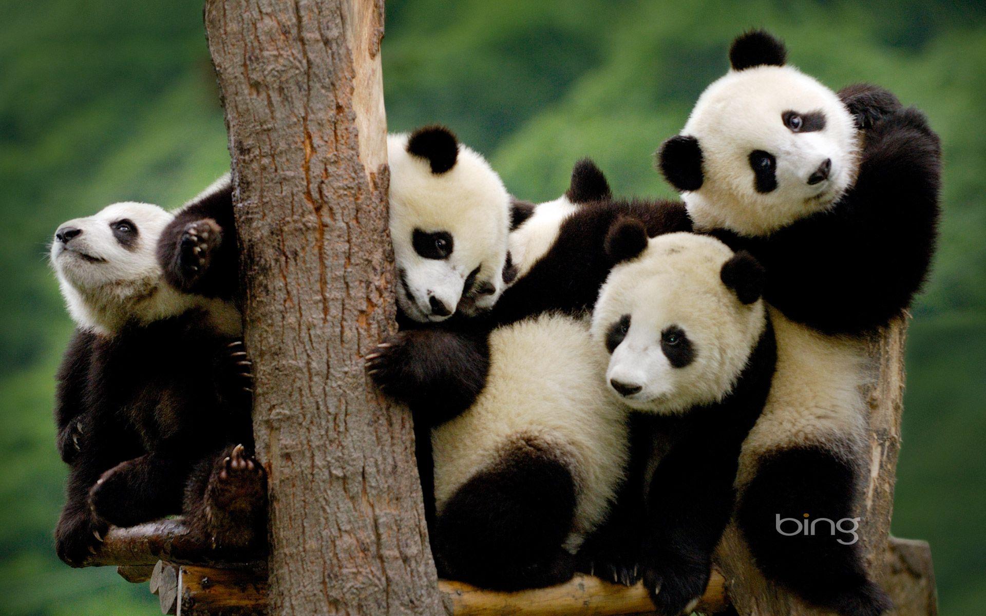 Accueil » Animaux »famille de pandas dans un arbre