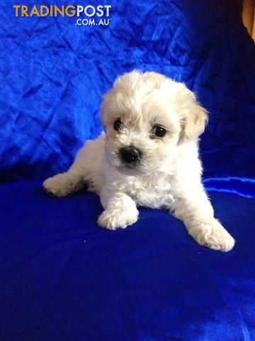 Cavachon Pups Cavachon Dogs For Sale Pup