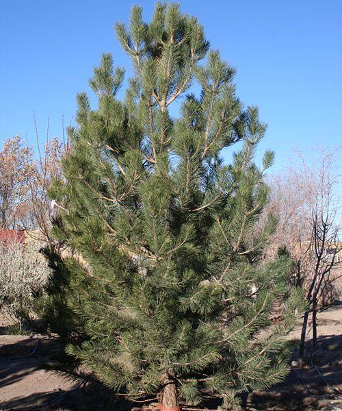austrian black pine drought tolerant