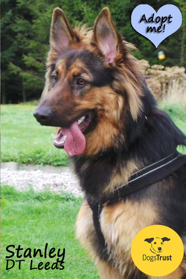 Stanley Is A Big Strong Boy Looking For An Active Home He Is