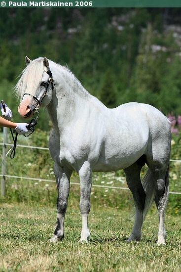 Welsh Mountain Pony (section A) stallion Wikners Rodrigo