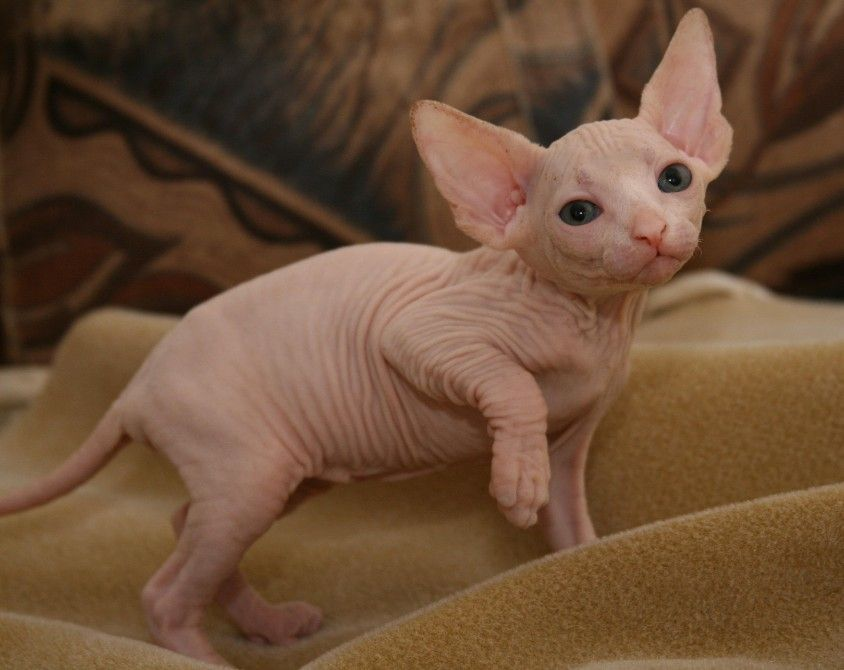 "Some of the people might go ""ewwwww"" when gazing upon sphynx"