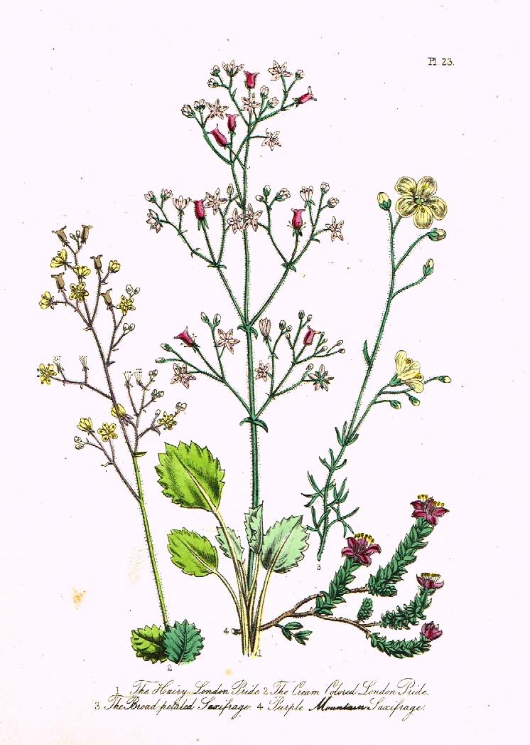 "Louden's Wild Flowers - ""PURPLE MOUNTAIN SAXIFRAGE"" - Hand ...  Purple Saxifrage Drawing"