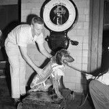 "Smokey I gets weighed, 1953. Announcements of the mascot contest in local newspapers read, ""This can't be an ordinary hound. He must be a 'Houn' Dawg' in the best sense of the word."" Tennessee's first mascot was born on Christmas Eve, 1946. At 9 years old, he escaped from his home and was killed by a car in 1955."