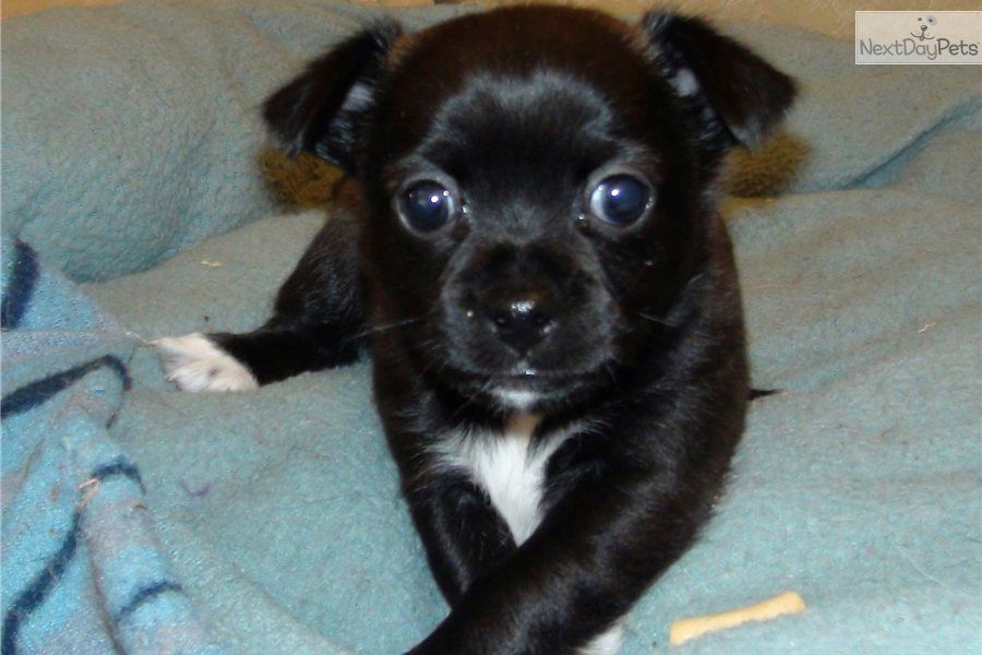 Chihuahua Puppy For Sale Little Female Chihuahua Puppy 0dbd31ed