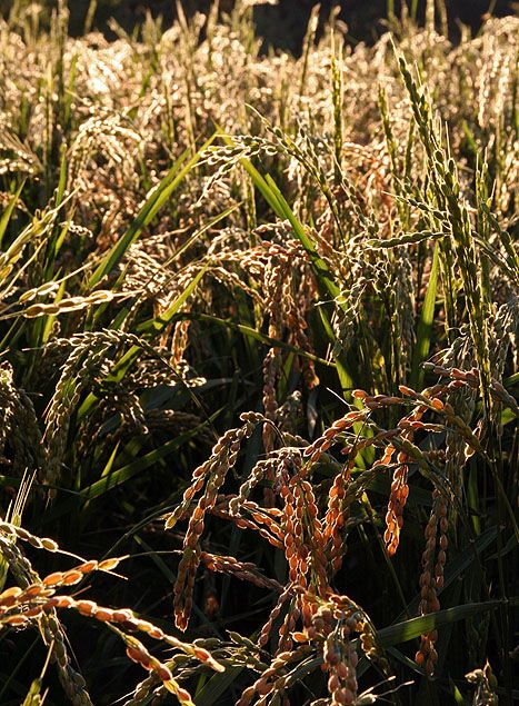 The Rice Oryza Sativa Variety Hayayuki Has Been Successfully Grown Outside In Both England And New England Annual Zone 9 Growing Rice Rice Plant Growing