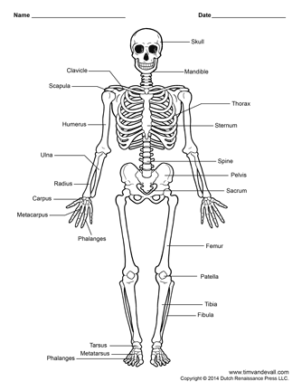 human skeleton labeled | Challenge A | Pinterest | Human skeleton ...