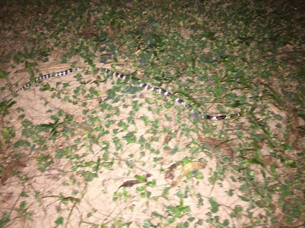 malayan krait in the backyard deadly snake found in