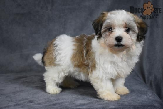 Cassandra Havanese Puppy for Sale in Fresno, OH