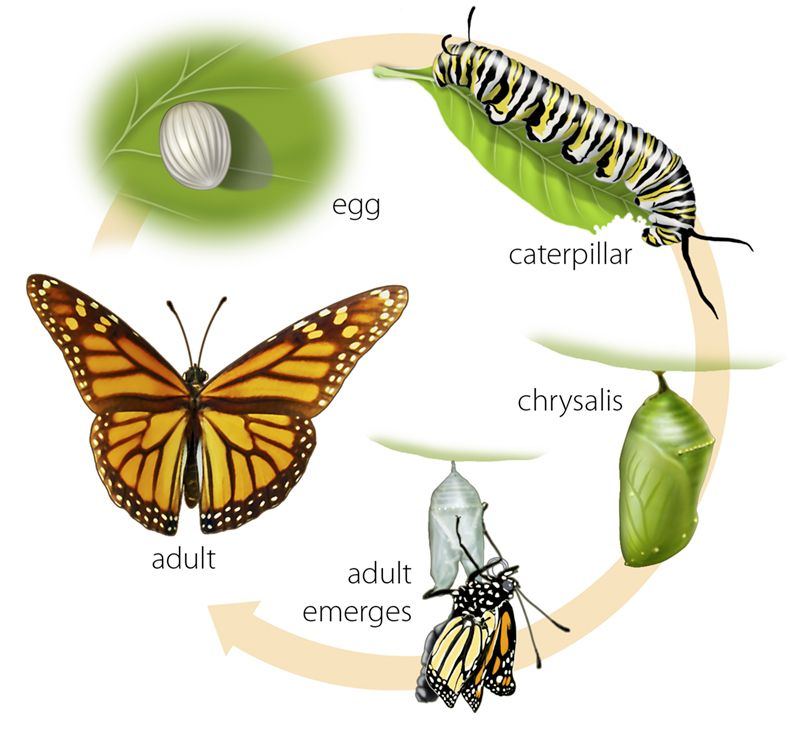 The Life Cycle Of A Butterfly I Just Think This Is So Amazing