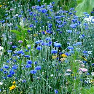 Blue Cornflower Light Full Sun Half Shade Height 2 3 Feet Flowering Summer Bachelor Button Flowers Bachelor Buttons American Meadows