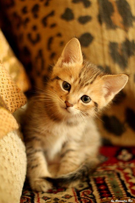 Tigra 03 By Alexandra Rei Baby Cats Kitten Love Crazy Cats