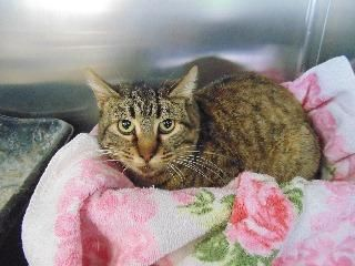 Steubenville, OH. Lula. URGENT! Domestic Short Hair • Young • Female • Small Jefferson County Humane Society. Petfinder link included. LULA does not look very happy!!! If she could talk, I bet she would have quite a story to tell! But she can't...so we need to be her voice!!! Lula is listed as a young, Domestic Short Hair.