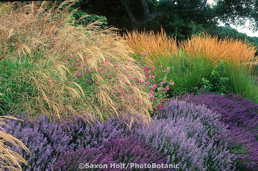 Miscanthus Sinensis Grass Lavender Lavatera And Calamagrostis