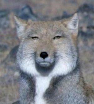 チベットスナギツネ 最近になって知名度が上がったキツネ 無の境地に達した様な表情が 人気の一つと言われている 野生動物 可愛すぎる動物 動物 ペット