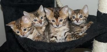 Bengal Kittens For Sale In Virginia Bengal Breeder In Virginia