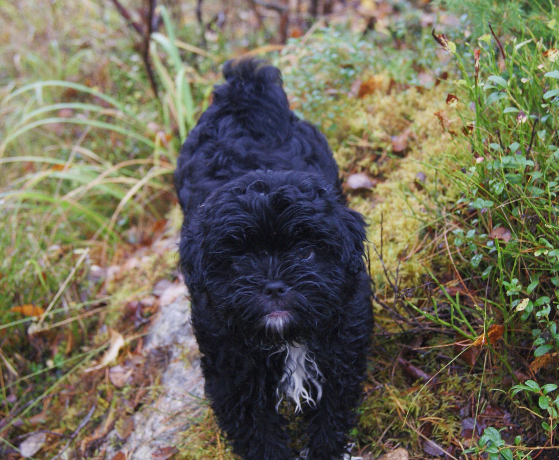 Puppy Black White Shihtzu Shihpoo Shih Tzu Poodle
