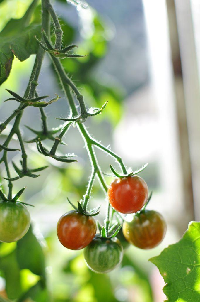 Pin by Kathy Jean on Tomato Garden!   Pinterest   Outdoor greenhouse ...