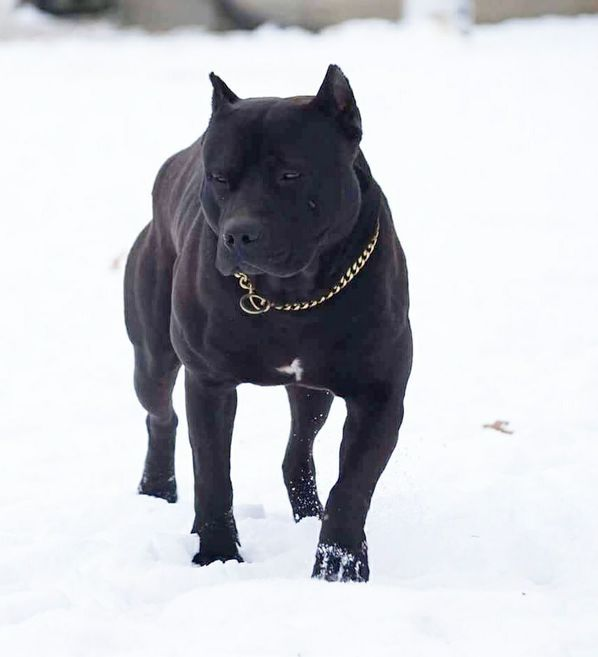 Black panther pit bull | Pets and Animals | Pitbulls, Dogs