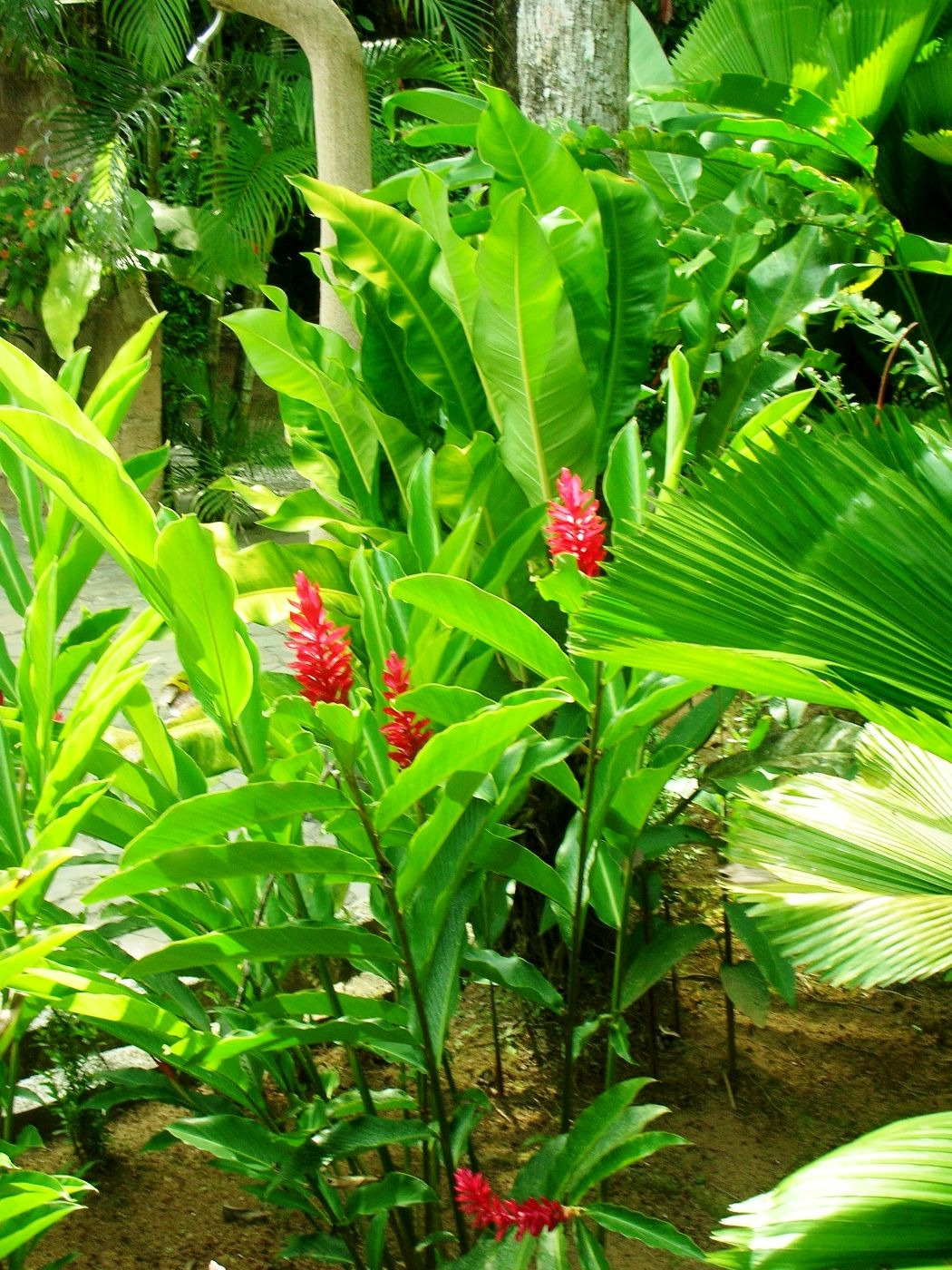 antorcha red ginger torch ginger exotic flowers pinterest