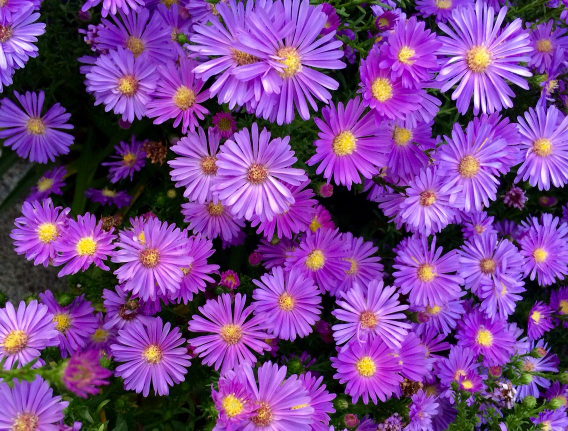 Asters / MDF
