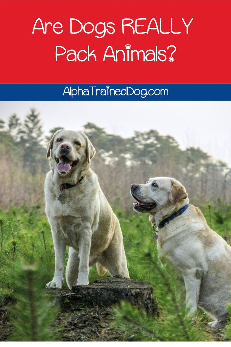 Are Dogs Really Pack Animals Alpha Trained Dog Dog Training