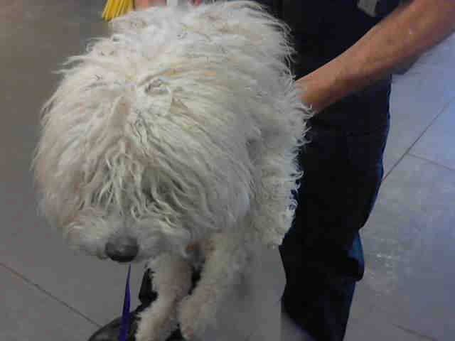 OPCA Shelter Network Alliance · Phoenix, AZ ~ Animal ID #A3565201 Maricopa County Animal Care & Control West Valley Animal Care Center ‒ I am a Male, White Miniature Poodle mix. The shelter thinks I am about 4 years old. Maricopa County Animal Care & Control West Valley Animal Care Center ‒ (602) 506-7387 https://www.facebook.com/OPCA.Shelter.Network.Alliance/photos/pb.481296865284684.-2207520000.1422355869./766314723449562/?type=3&theater