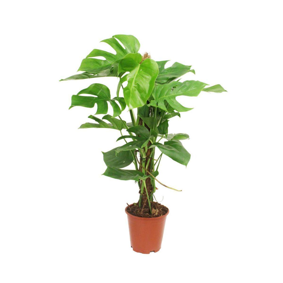 Monstera Dziurawa 80 Cm Monstera Herbs Plants