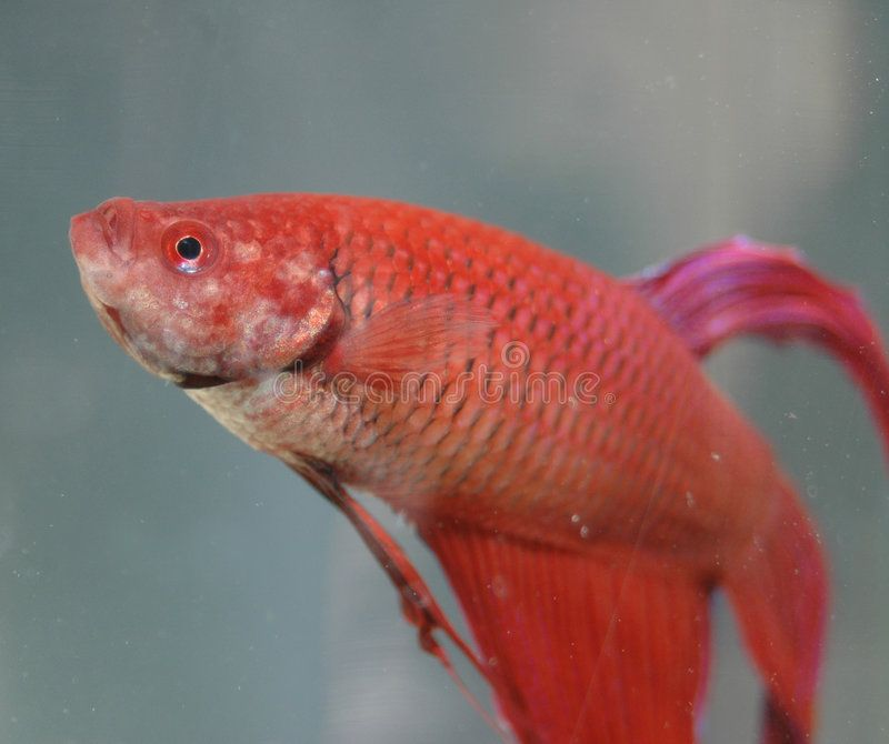 Red Beta Fish Upclose Look At A Beautiful Red Male Beta Fish Sponsored Fish Upclose Red Beta Beta Ad Beta Fish Fish Fish Stock