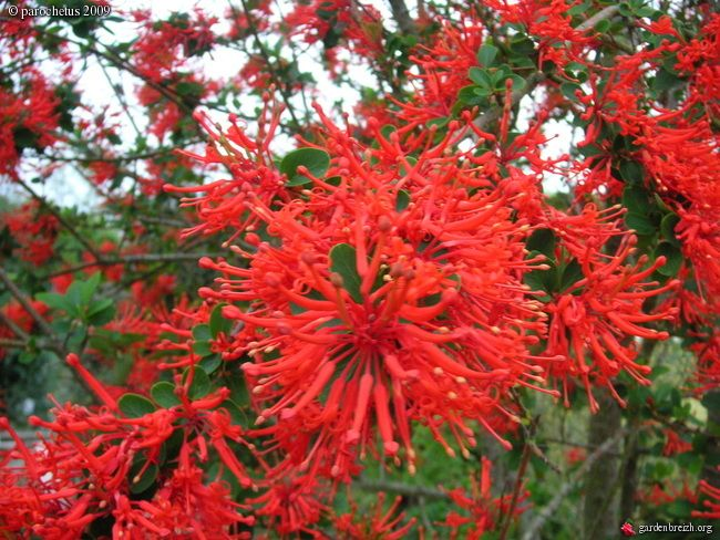 embothrium coccineum chilean fire bush from chile comes this astonishing slender upright. Black Bedroom Furniture Sets. Home Design Ideas
