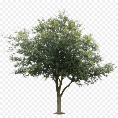 Tree Architecture Oak Black Locust Deciduous Orange Tree Png Tree Photoshop Architectural Trees Landscape Architecture Graphics