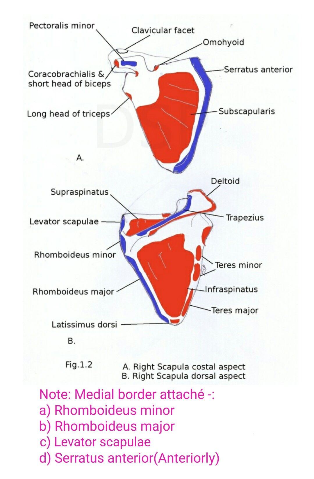 Muscles Attached To Scapula Note Pectoralis Major Has No