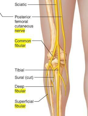 Image result for posterior femoral cutaneous nerve | Nerve ...