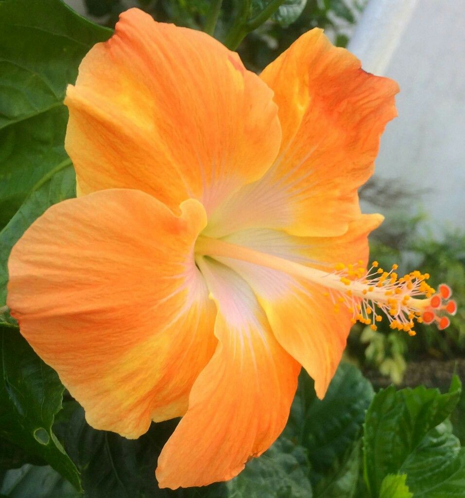 Pin By Janice Gaskins On Hibiscus Pinterest Hibiscus Flowers