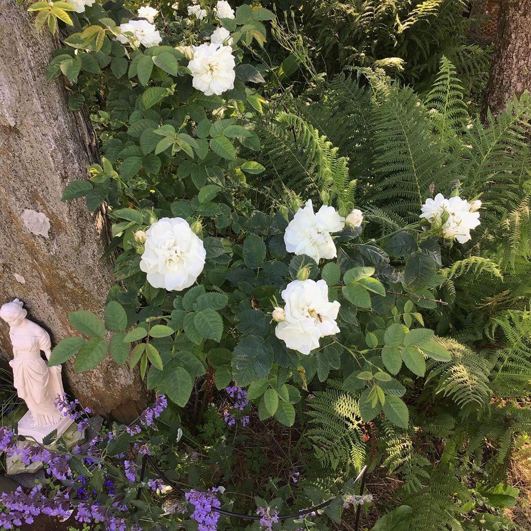 Så sanneleg held dei gamle smårosene stand, og duftar nydeleg #uteplassen #uterom #ute #uteplass #uteerbest #uteområde #uteplassenmin #uterum #hageinspirasjon #hage #hagenmin #hagestue #hageliv #hageglede #haveglæde #haveglæder #levlandlig #livetpålandet #landliv #landhausliving #roser #rose #gardenroses #småroser #rosebusker #garten #